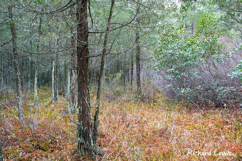 Atlantic White Cedar Swamp Pine Barrens New Jersey