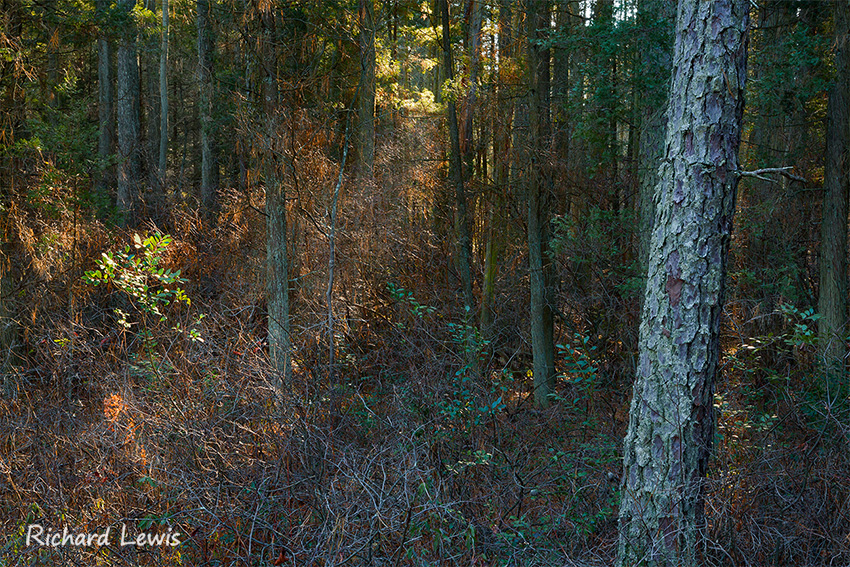 Atlantic White Cedar Swamp Pine Barrens NJ