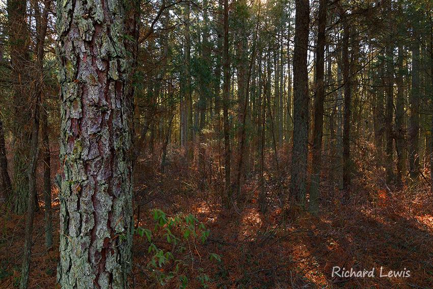Atlantic White Cedar Swamp Pinelands New Jersey