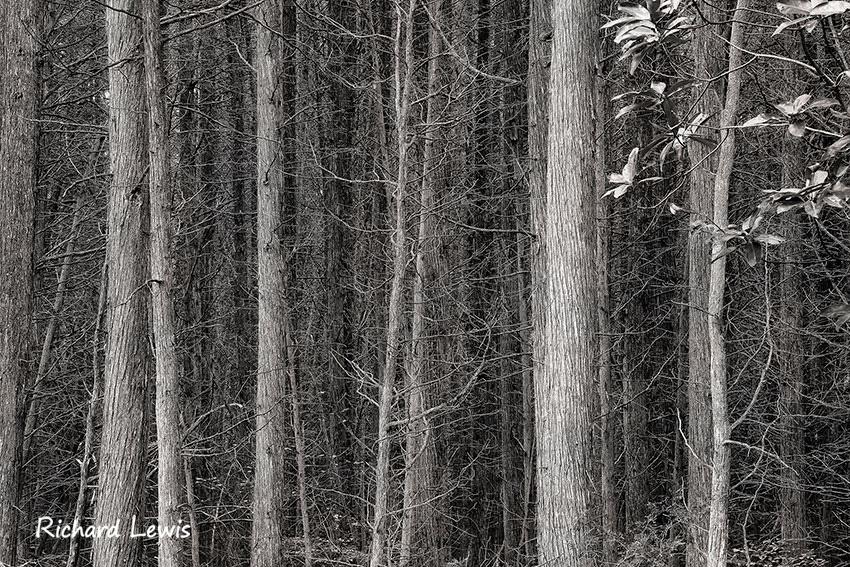 Atlantic White Cedar Swamp Pinelands NJ