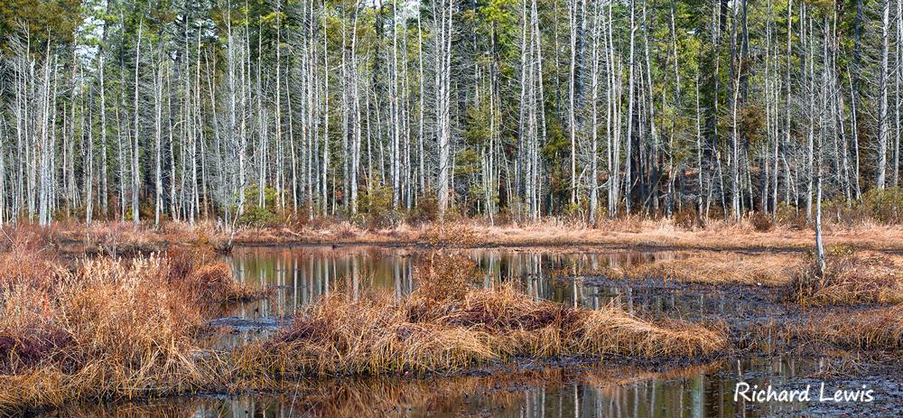 Atlantic White Cedars Mullica River