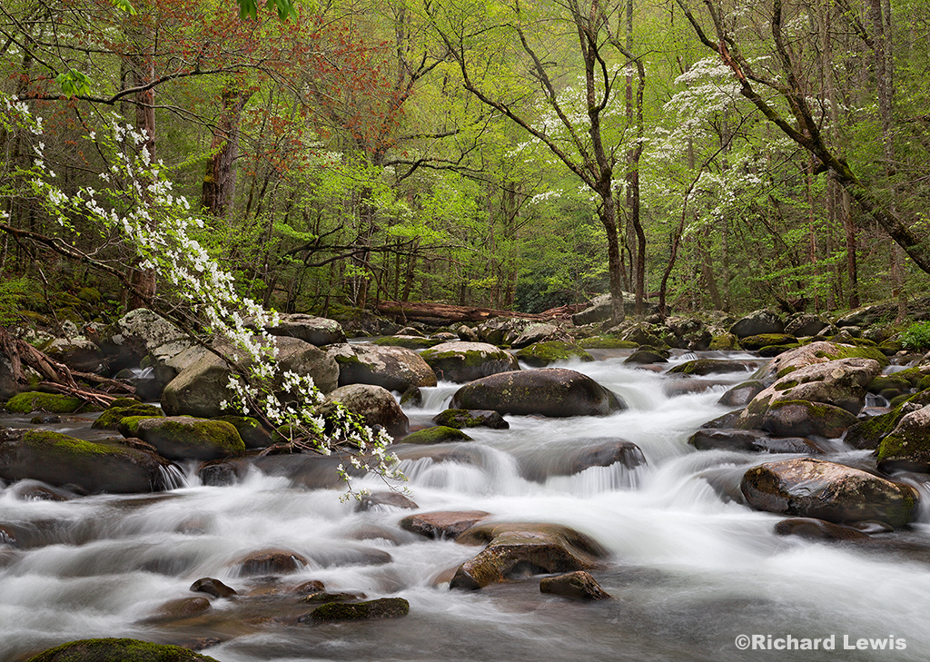 Dogwoods On Tremont Creek