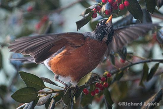 Robin's Dance by Richard Lewis