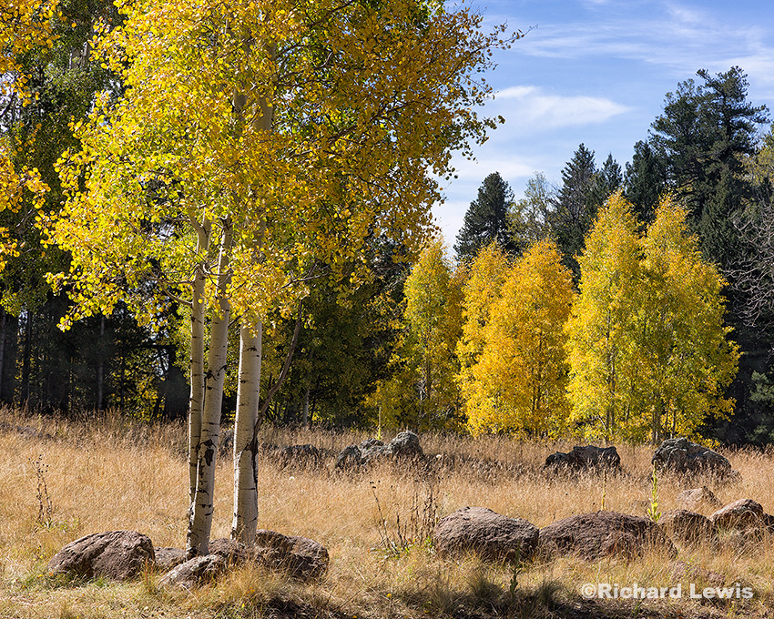Fall Aspens by Richard Lewis