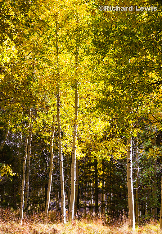 Glowing Aspens by Richard Lewis