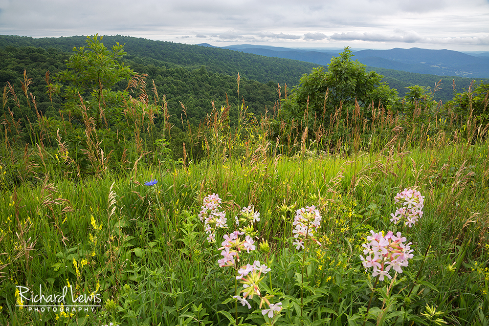 Wild Flowers on a Summit in Shenandoah National Park by Richard Lewi