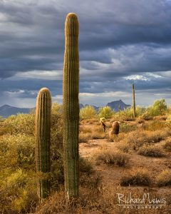 Morning Arizona Cacti