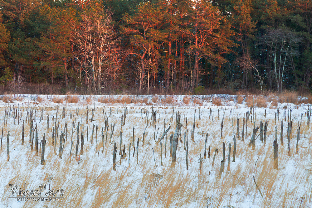Cold Winter Light In the Franklin Parker Preserve in the Pine Barrens by Richard Lewis