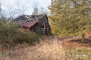 Abandoned Barn With Cedar Tree