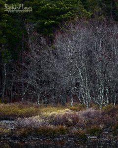 Swamp Light Pinelands Pine Barrens