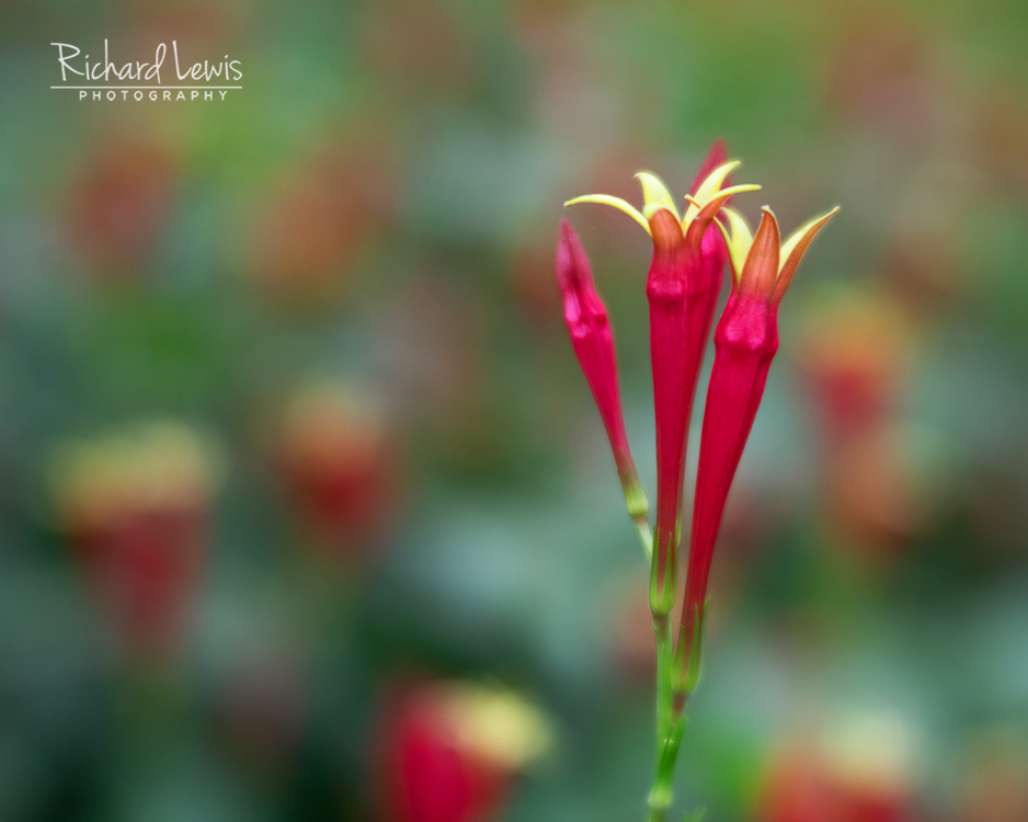 Lensbaby Velvet 56 three Red Flowers