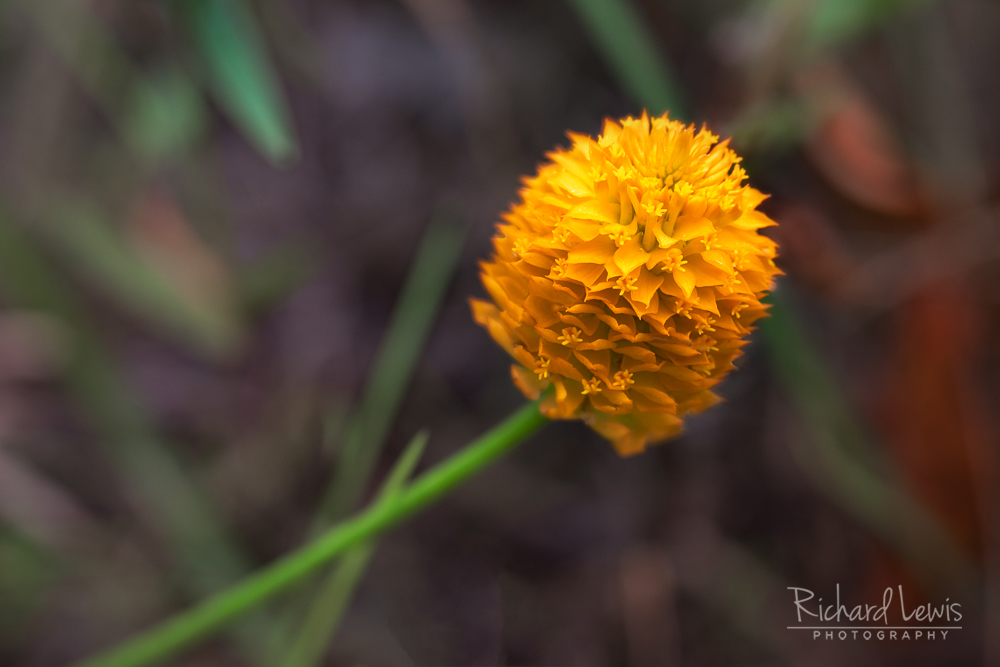 Lensbaby Orange Milkwort in the Pine Barrens