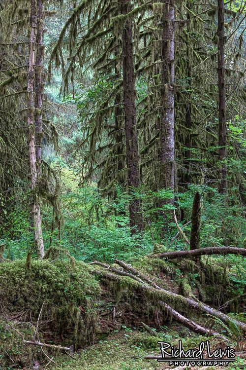 Fallen Giant Hoh Rain Forest