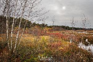 Pinelands Birches In The Late Afternoon