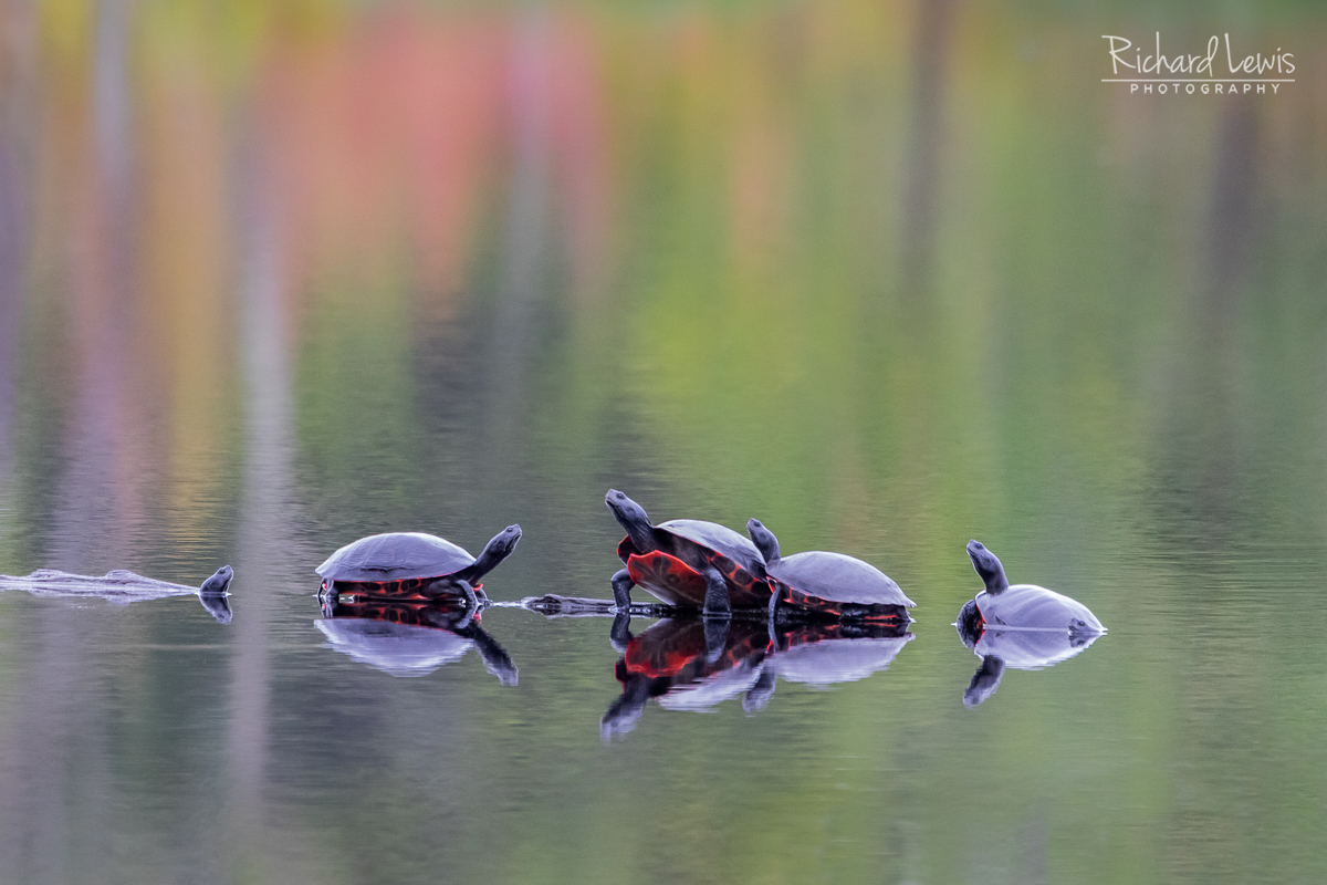 The Gathering Pine Barrens turtles