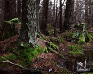 Cedar Survivors